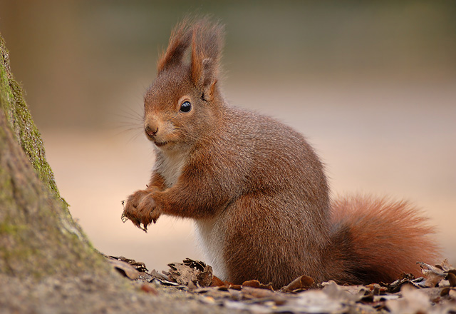 eichhörnchen schwarz einheimisch deutschland